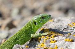 Male sand lizard (Lacerta agilis). Male sand lizard (Lacerta agilis) on the rocks Royalty Free Stock Photos