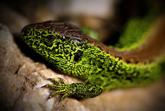 Male Sand Lizard (Lacerta agilis) Close-up Royalty Free Stock Photos