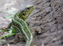 Male sand lizard Lacerta agilis on the ground. Sand lizard Lacerta agilis on the ground Royalty Free Stock Photo