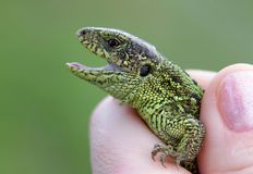 Male sand lizard Lacerta agilis in a hand. Sand lizard Lacerta agilis in a hand Stock Photos