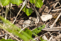 Male sand lizard / Lacerta agilis in a hiding place. Close up of a male green coloured sand lizard / Lacerta agilis in a hiding place Royalty Free Stock Photo