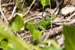 Male sand lizard / Lacerta agilis in a hiding place. Close up of a male green coloured sand lizard / Lacerta agilis in a hiding place Stock Photography