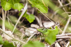 Male sand lizard / Lacerta agilis in a hiding place Stock Images