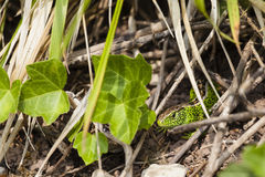 Male sand lizard / Lacerta agilis in a hiding place Royalty Free Stock Image