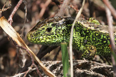 A male Sand Lizard Lacerta agilis hiding in the undergrowth. One of the United Kingdoms rarest reptiles Stock Photo