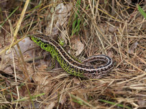 Male Sand Lizard Stock Image