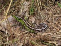 Male Sand Lizard Stock Image