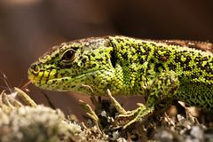 The male sand lizard 2 Royalty Free Stock Photo