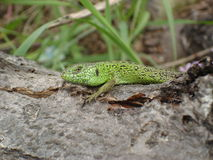 The male sand lizard on the trunk of dry wood.  Stock Photos