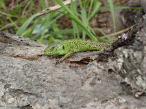 The male sand lizard on the trunk of dry wood.  Royalty Free Stock Images