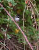 Male Sardinian Warbler perched on thistles. Royalty Free Stock Image