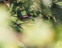 Male Sardinian warbler Royalty Free Stock Photos