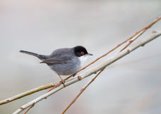 Male Sardinian Warbler. A male Sardinian Warbler (Sylvia melanocephala) perched on twigs against a blurred natural background, Spain Royalty Free Stock Images