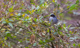 Male Sardinian Warbler. A male Sardinian Warbler (Sylvia melanocephala) perches in the thicket of dense vegetation which is it's typical habitat Stock Image