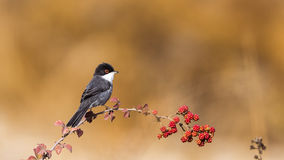 Male Sardinian Warbler. (Sylvia melanocephala) is perching on brambler Royalty Free Stock Photo