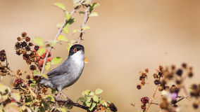 Male Sardinian Warbler. (Sylvia melanocephala) is perching on brambler Stock Image