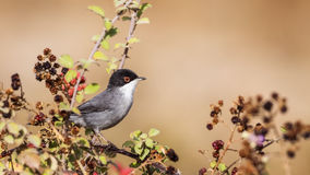 Male Sardinian Warbler. (Sylvia melanocephala) is perching on brambler Royalty Free Stock Image