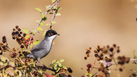 Male Sardinian Warbler. (Sylvia melanocephala) is perching on brambler Royalty Free Stock Images