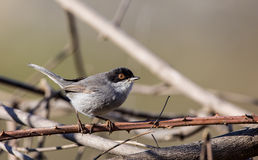 Male Sardinian Warbler. (Sylvia melanocephala) is perching on tree branch Royalty Free Stock Image