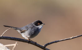 Male Sardinian Warbler. (Sylvia melanocephala) is perching on tree branch Stock Photography