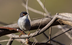Male Sardinian Warbler. (Sylvia melanocephala) is perching on tree branch Royalty Free Stock Photo