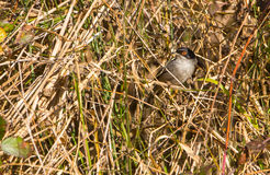 Male Sardinian Warbler in the thicket Royalty Free Stock Photos