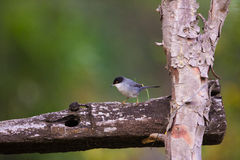 Male Sardinian Warbler on wooden fence. A male Sardinian Warbler (Sylvia melanocephala) perches on a rústica wooden fence Stock Image