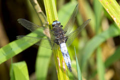 A male Scarce Chaser dragonfly. A worn male Scarce Chaser dragonfly, Libellula fulva,  resting on a reed leaf in the sun Stock Images