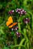 Male scarce copper (Lycaena virgaureae) sitting on a flowering Oregano (Origanum vulgare) Stock Photography