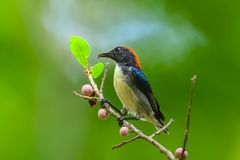 Male Scarlet-backed Flowerpecker. ( Dicaeum cruentatum) on the branch in nature in Thailand Stock Images