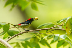Male Scarlet-backed Flowerpecker Royalty Free Stock Photography