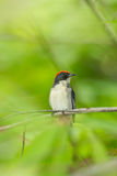 Male Scarlet-backed Flowerpecker Stock Images