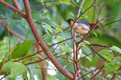 The male Scarlet-backed Flowerpecker perching on a branch Stock Photo