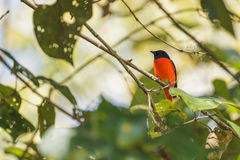 A male of Scarlet Minivet perching on a branch Stock Photography