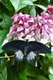 Male Scarlet Mormon,aka,Papilio rumanzovia Royalty Free Stock Photo