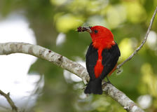 Male Scarlet Tanager Eating Mulberries. Male Scarlet Tanager (Piranga oliveacea) Eating Mulberries on a Migratory Stop Over - High Island, Texas Royalty Free Stock Image