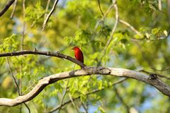 Male Scarlet Tanager Royalty Free Stock Image
