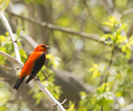 Male Scarlet Tanager. S are among the most blindingly gorgeous birds in an eastern forest in summer, with blood-red bodies set off by jet-black wings and tail Stock Images