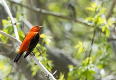 Male Scarlet Tanager Royalty Free Stock Images
