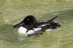 Male scaup. Swimming in a pool Royalty Free Stock Photo