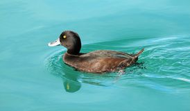 Male Scaup duck on bright blue lake Wairepo Arm, New Zealand. Five adult female Scaup ducks on Wairepo Arm, near Twizel New Zealand. New Zealand scaup are Stock Photography