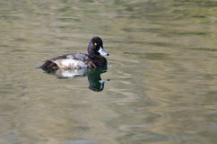 Male Scaup Swimming in the Green Pond Royalty Free Stock Photography