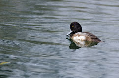 Male Scaup Swimming in the Green Pond Royalty Free Stock Photos