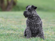 Male Schnauzer Dog. Looking at his right Stock Image