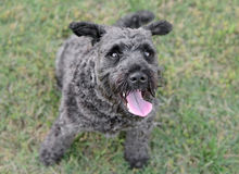 Male Schnauzer Dog. Looking up Stock Photo
