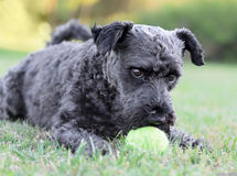 Male Schnauzer Dog. Playing with a tennis ball Royalty Free Stock Photography