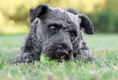 Male Schnauzer Dog. Playing with a tennis ball Royalty Free Stock Photos