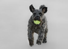 Male Schnauzer Dog. Playing with a tennis ball Stock Images