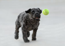 Male Schnauzer Dog. Playing with a tennis ball Royalty Free Stock Photo