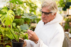 Male scientist in clean suit examining plant leaves. At greenhouse Royalty Free Stock Photo